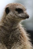 Meerkat Closeup — Stock Photo