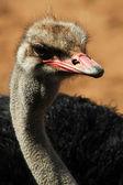 Ostrich Closeup — Stock Photo