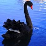 Постер, плакат: Black Swan