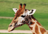 Giraffe head — Stock Photo