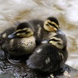 Three Black Ducks Cygnet — Stock Photo #39810169