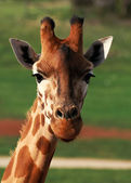 Giraffe Closeup — Stock Photo