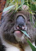 Koala Closeup Face — Stockfoto