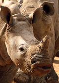 White Rhino Closeup face — Stock Photo