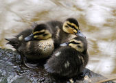 Three Black Ducks Cygnet — Stock Photo