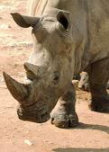 White Rhino Closeup — Stock Photo