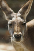 Red Kangaroo Closeup — Foto Stock