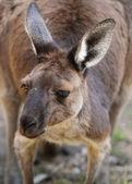 Western Grey Kangaroo — Stock Photo