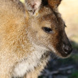 Bennett Wallaby — Stock Photo