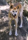 Dingo (Canis lupus dingo) — Stock Photo