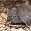 Stock Photo: Long-nosed Potoroo (Potorous tridactylus)