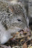 Long-nosed Potoroo (Potorous tridactylus) — Stock Photo