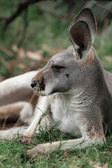 Red Kangaroo — Stock Photo