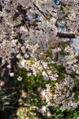 Sakura-Cherry blossom — Stock Photo
