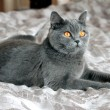 British Shorthair cat — 图库照片