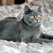British Shorthair cat — Foto de Stock