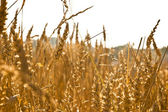 Wheat field - close-up — Stock Photo