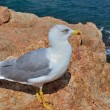 Seagull — Stock Photo #33058597