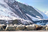 Sheep on  the mountain road — ストック写真