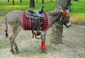 Pony horse tethered — Stock Photo