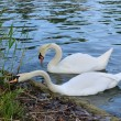 Pair of white swans eating food in thickets pond — Stock Photo #50068647