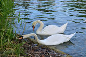 Pair of white swans eating food in thickets pond — Stock Photo