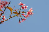Pink Sakura on blue sky — Stock Photo