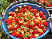 Fresa roja fresca de huerta en balde — Foto de Stock