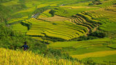 Terrace rice fields vietnam — Stock Photo