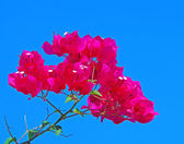 Pink bougainvillea paper flower on blue sky — Stock Photo