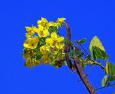 Cassod tree, Thai copper pod On blue sky background (Senna siame — Stock Photo