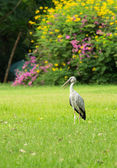 Openbill Stork (Anastomus oscitans) standing on the garden — Stock Photo