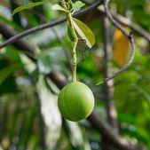 Cerbera oddloam fruit on the tree — Stock Photo