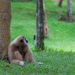 Gibbon sitting on the grass in the forest — Stock Photo