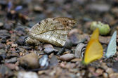 A kind of butterfly on the ground with another kind butterfly in — Stock Photo