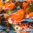Close up koi fish in the fish pond — Stock Photo
