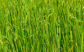 Paddy rice field, nature background — Stock Photo