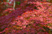 A lot of red maple autumn leaves on the tree — Stock Photo