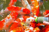 Feeding to koi fish by Milk bottle in the fish big ponds — 图库照片