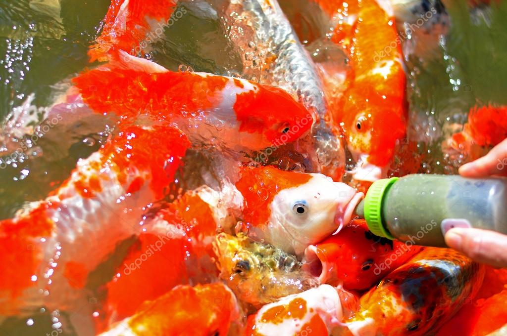Feeding to koi fish by milk bottle in the fish big ponds for What to feed koi fish
