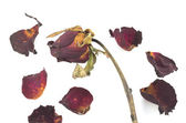 Dried red rose and leaf on white background — Stock Photo