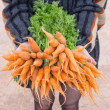 Fresh baby carrots from the farm on hand — Stock Photo