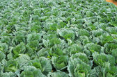 Cabbage field in the farm — Stock Photo