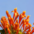 Stock Photo: Orange trumpet on blue sky background, PyrostegiVenusta