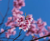 Beautiful Pink Sakura on blue sky — Stock Photo