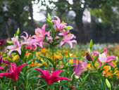 Blooming pink lily in field on morning — Stock Photo