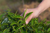Plucking tea leaf by hand — Stock Photo