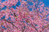 Beautiful Pink Sakura on blue sky — Stockfoto
