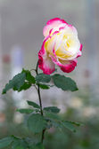 White Rose with yellow and pink color leaf — Stock Photo