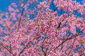 Beautiful Pink Sakura on blue sky — Stock Photo